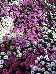 Resultado de imagen para dimorfoteca flores