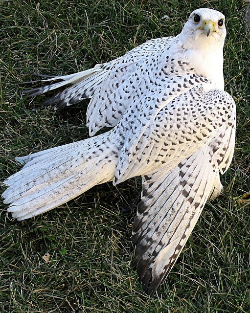 white falcon bird hunting | Birds | Pinterest | Falcons ...