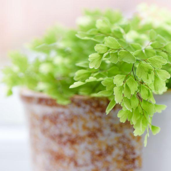 Adiantum Fragrans 30 35cm En 2020 Gamm Vert Plante Verte Et Planter Des Fleurs