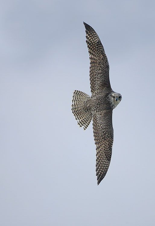 Gyrfalcon Brandon Holden Photography