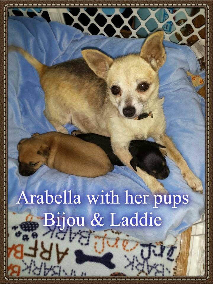 Adopt Laddie on Adoption, Dogs, Chihuahua mix