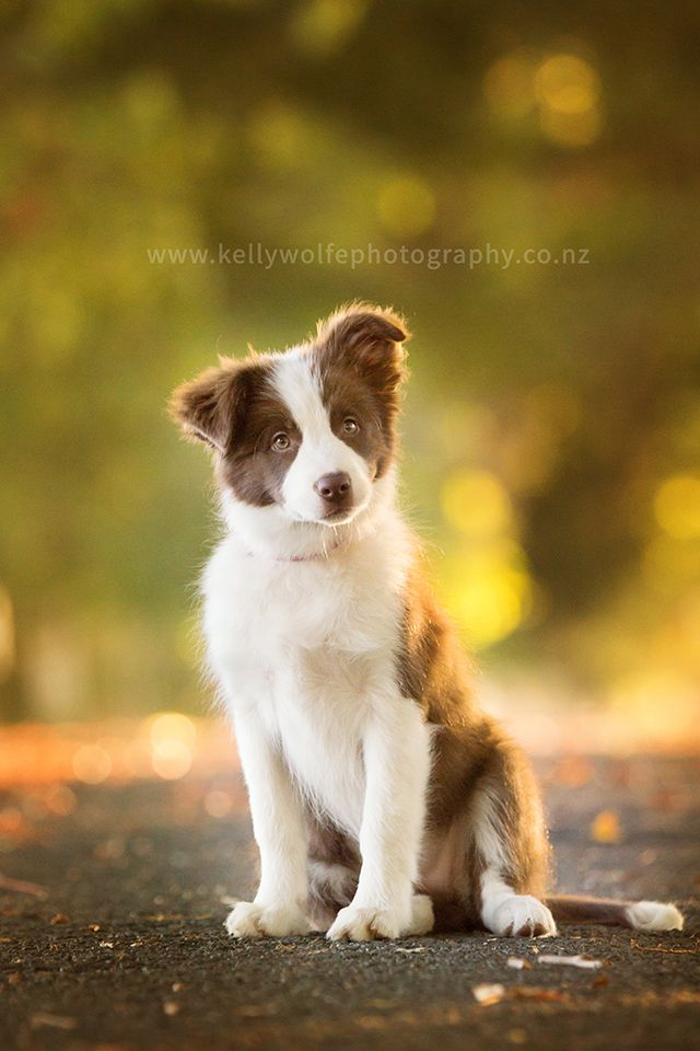 Border Collie Pup Border Collie Puppies Border Collie Dog
