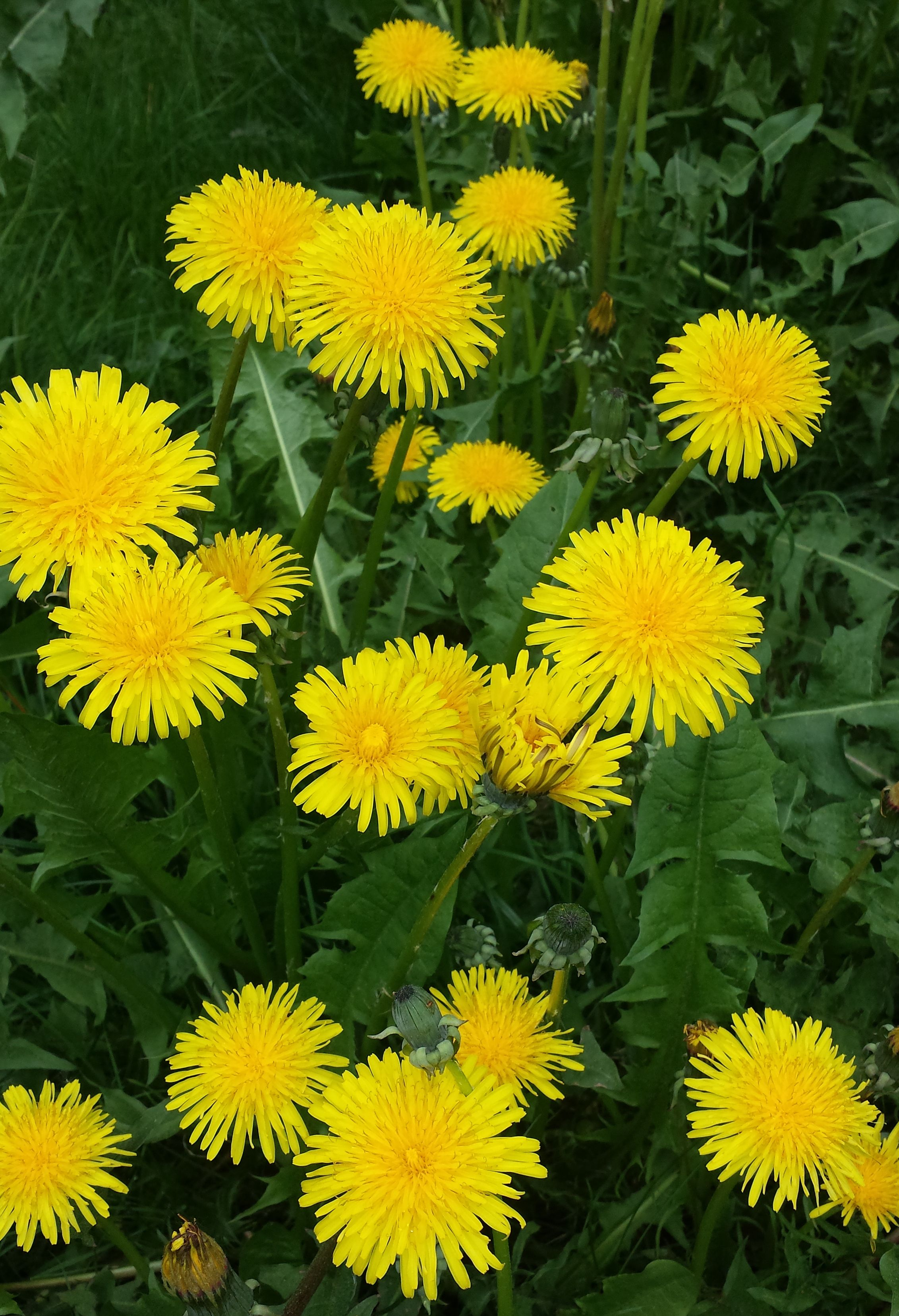 Pin By Chandran Pullekat On Zheltyj Zheltyj Zheltyj Dandelion Flower Yellow Flowers Happy Flowers