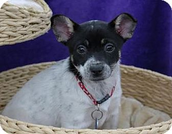 Fremont Ca Rat Terrier Cattle Dog Mix Meet Mochi D5131 Was D4044 A Puppy For Adoption Puppy Adoption Cattle Dogs Mix Dog Adoption