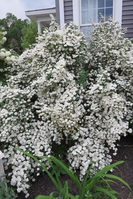 This big beautiful mass of white flowers is a bridal spirea bush this big beautiful mass of white flowers is a bridal spirea bush mightylinksfo