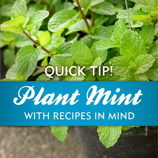 Mint is known to run rampant in gardens!  Harvest often as it grows quickly and use in recipes like this Mojito Macaroni Salad!