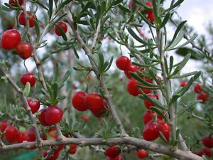 Lycium carolinianum, Florida native tree christmas berry bonsai ...