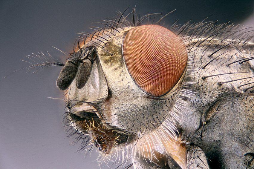 Stubenfliege (Musca domestica): Gut zu erkennen ist das große Komplexauge mit...