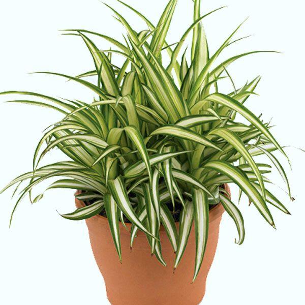 Zielistka Plants Spider Plants Landscaping Plants