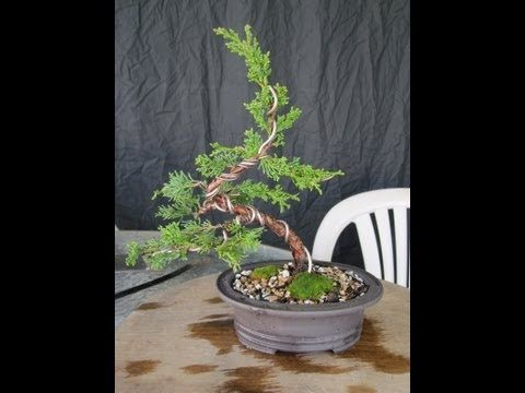 Amazing How To Make A Juniper Bonsai For Under 30 00 Youtube Bonsai Wiring 101 Cajosaxxcnl