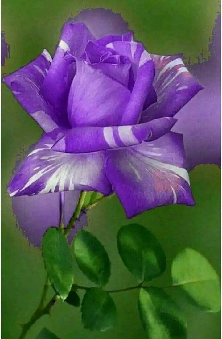 Rosa Prpura Muy Bellisima Garden Pinterest Flowers Beautiful