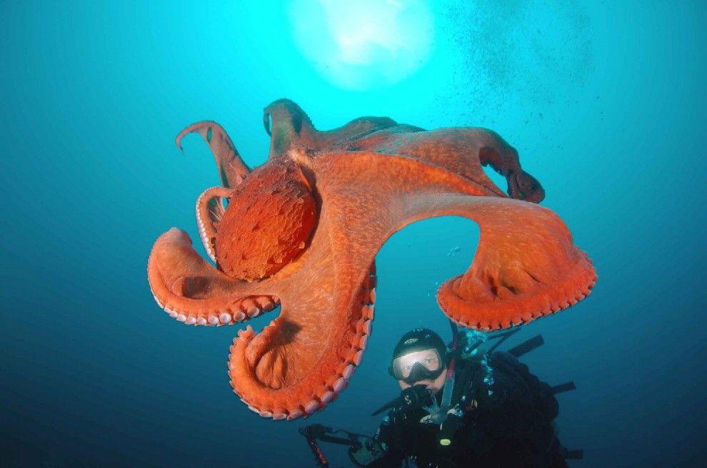 Questa magnifica creatura delgi abissi è una piovra gigante che ...