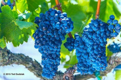 Sangiovese for Mitchell Katz Winery from Crackerbox Vineyard