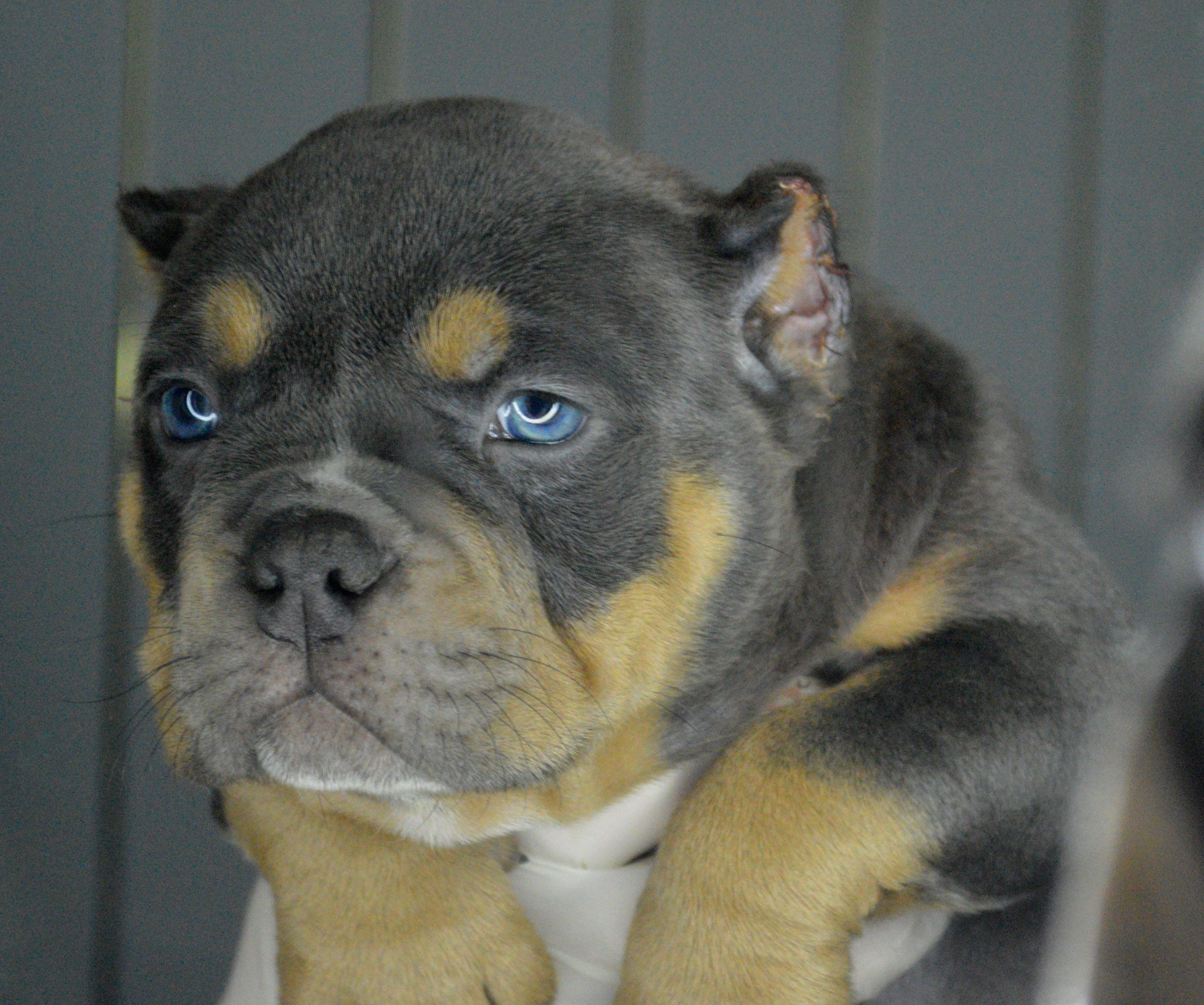 American Bully Pocket American Bully Pocket American Bully Animals And Pets