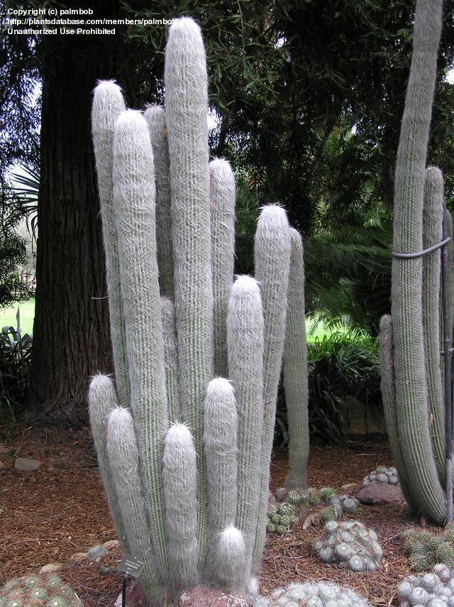Full size picture of Old Man of Mexico, Old Man Cactus, Viejo, White Persian Cat Cactus (<i>Cephalocereus senilis</i>)