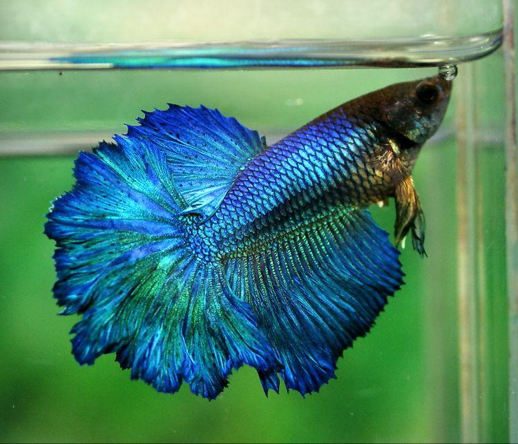 Female with huge fins fancy bettas pinterest betta for Betta fish life
