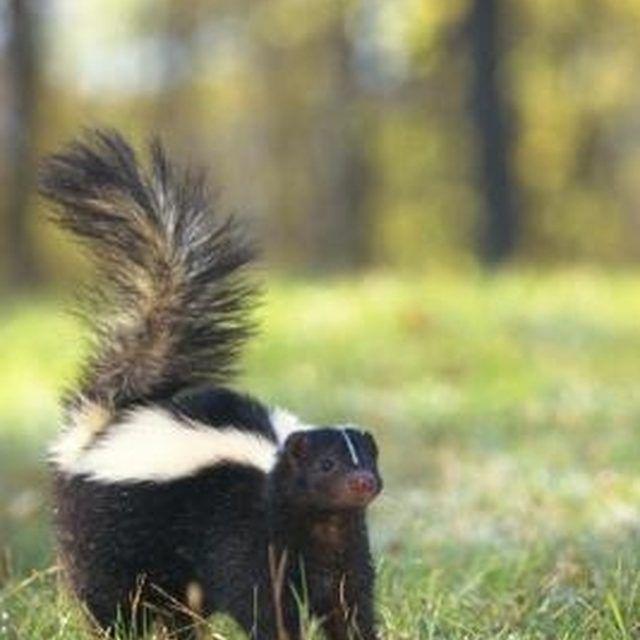 Do It Yourself Skunk Repellent Hunker Skunk Repellent Getting Rid Of Skunks Dog Spray