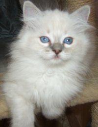 Kitten Crew Massachusetts Cc Bay Rags Ragdoll Cats Kittens