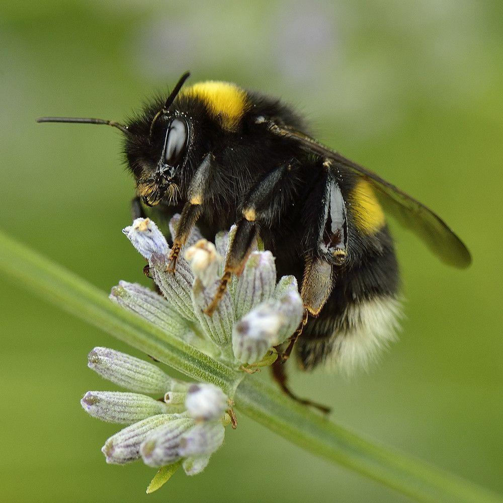 lavendel hummel von c gaudl hummel pinterest bienen hummel und insekten. Black Bedroom Furniture Sets. Home Design Ideas