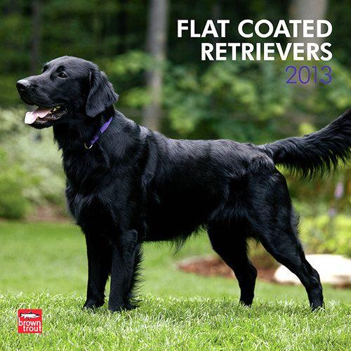 Flat Coated Retrievers Wall Calendar The Flat Coated Retriever Is A Loving And Playful Dog These Dogs Flat Coated Retriever Retriever Black Golden Retriever