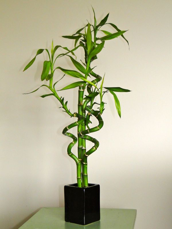 Charmant Lucky Bamboo   Perfect Office Plant From The Warehouse