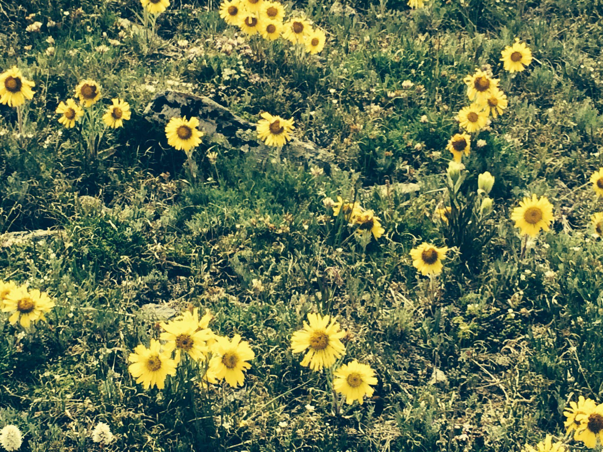 Wild yellow flowers buena vista colorado wild flowers pinterest wild yellow flowers buena vista colorado mightylinksfo