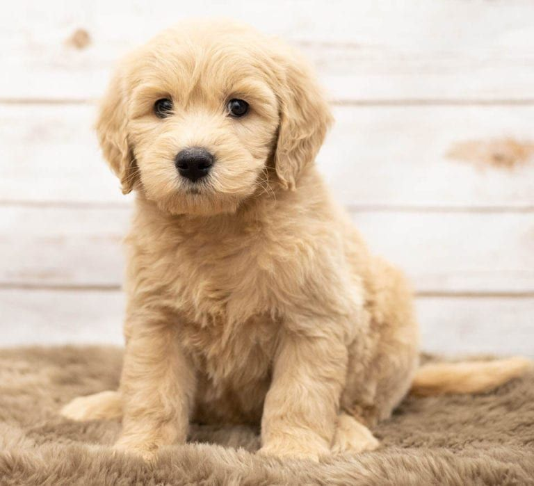 Mini Goldendoodle Bernedoodle Puppies For Sale Poodles 2