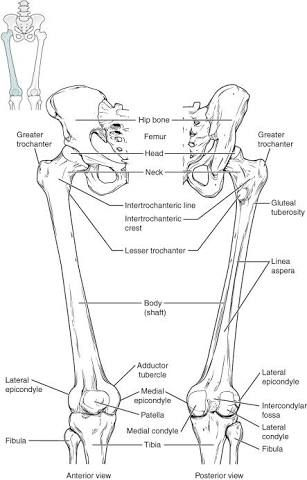 Posterior Skeleton Diagram