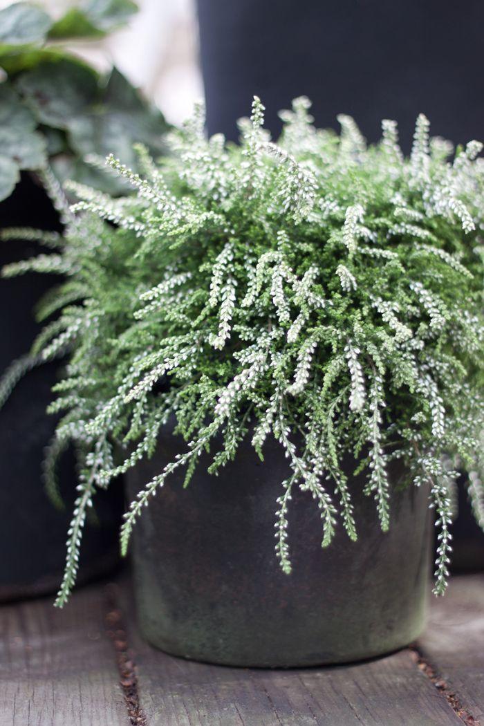 hängande växter utomhus