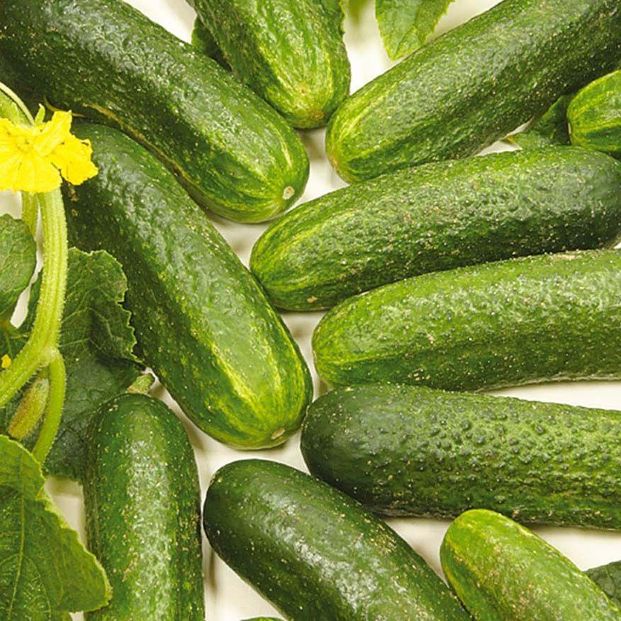 Alles Zum Thema Gurken Das Kleine Garten Abc Von Volmary Gurke Pflanzen Gurkenpflanze