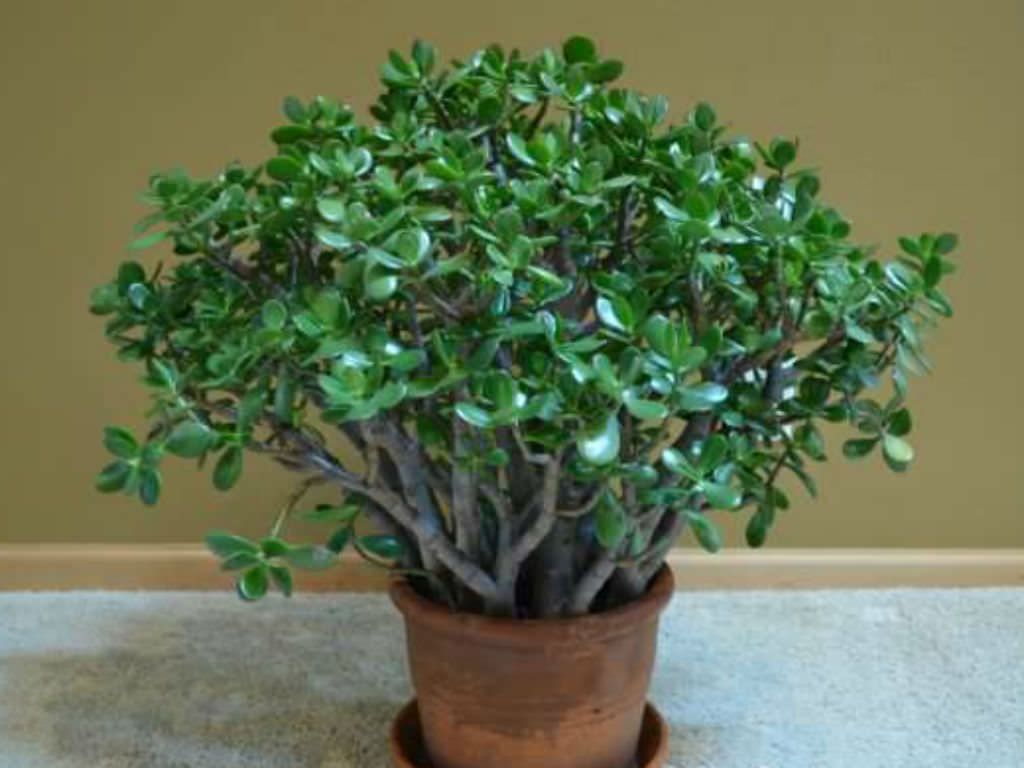 White Powdery Mold On The Jade Plant Growing Caring For