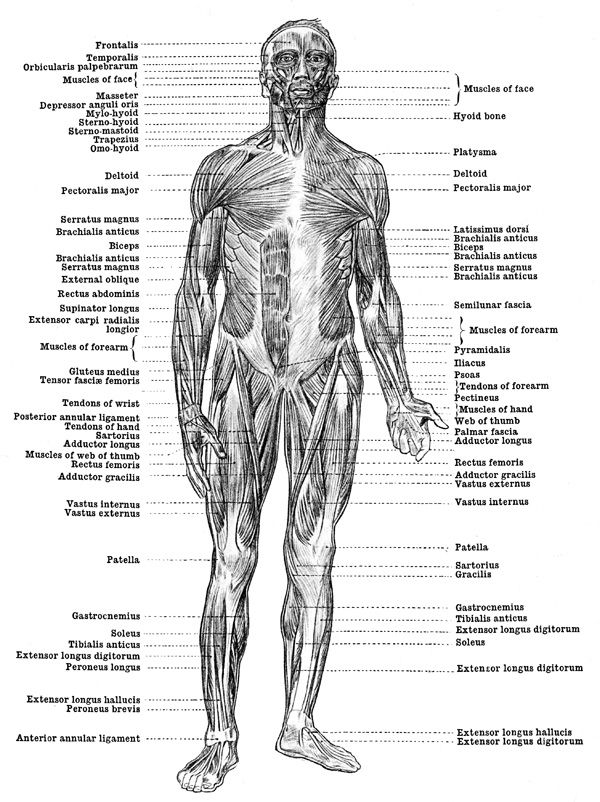 human anatomy muscles - muscles of the body - front view | health, Muscles