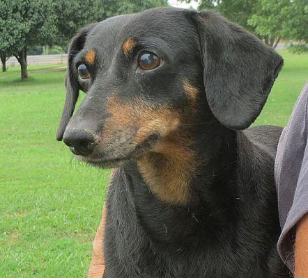 Parsippany, NJ Dachshund. Meet Gretchen a Dog for