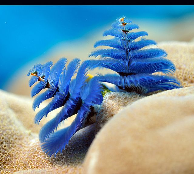 Christmas tree worm Underwater adventure Pinterest