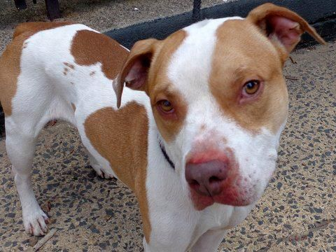 SAFE 4/24/13 Manhattan Center - P  My name is KHI. My Animal ID # is A0962260. I am a male white and brown pit bull mix. The shelter thinks I am about 3 YEARS old. SHARE/ADOPT/FOSTER BEFORE ITS TOO LATE FOR THIS LITTLE GUY https://www.facebook.com/photo.php?fbid=598462983499918=a.275017085844511.78596.152876678058553=1