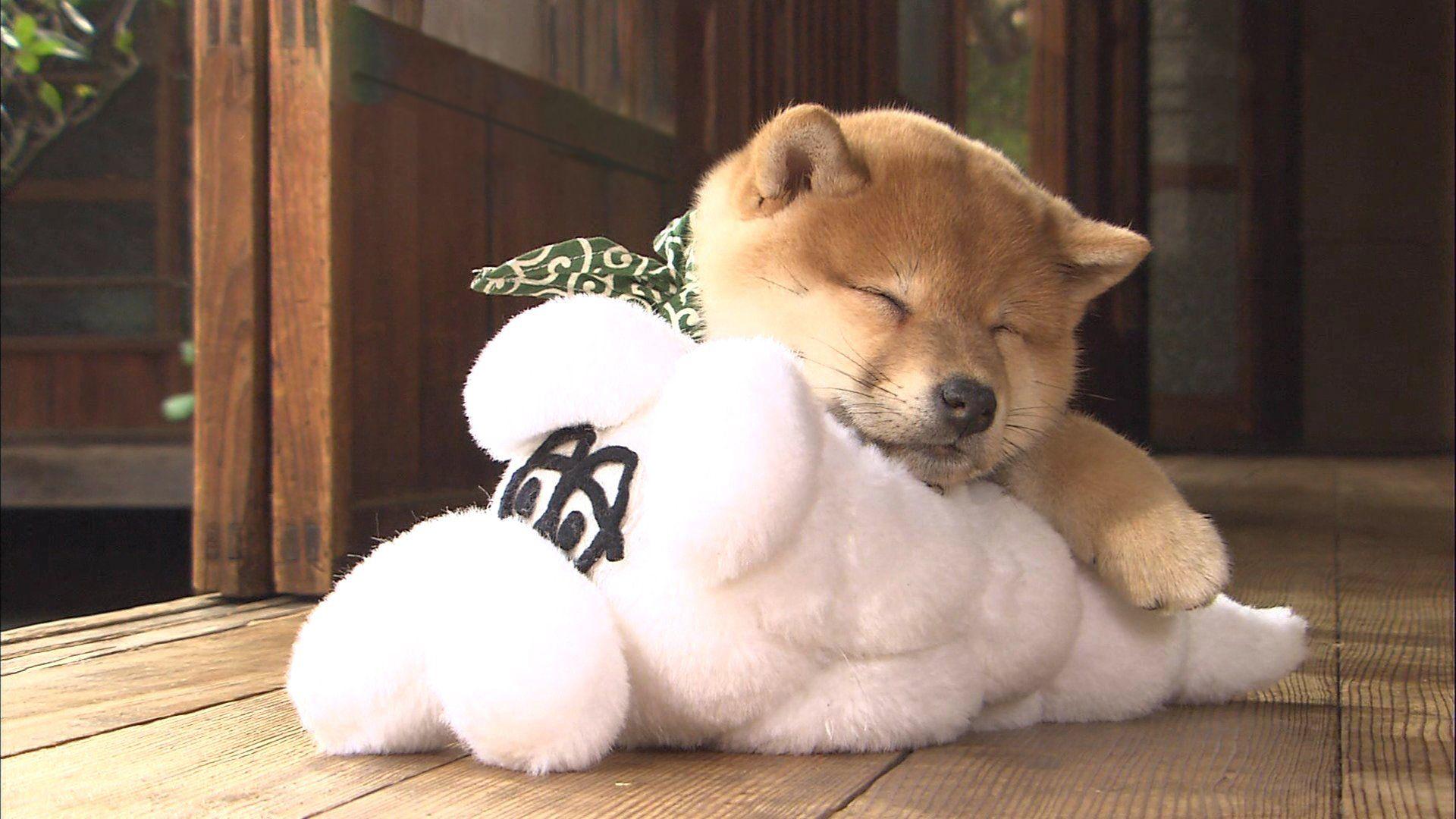 ぬいぐるみを抱き枕にして眠る豆柴