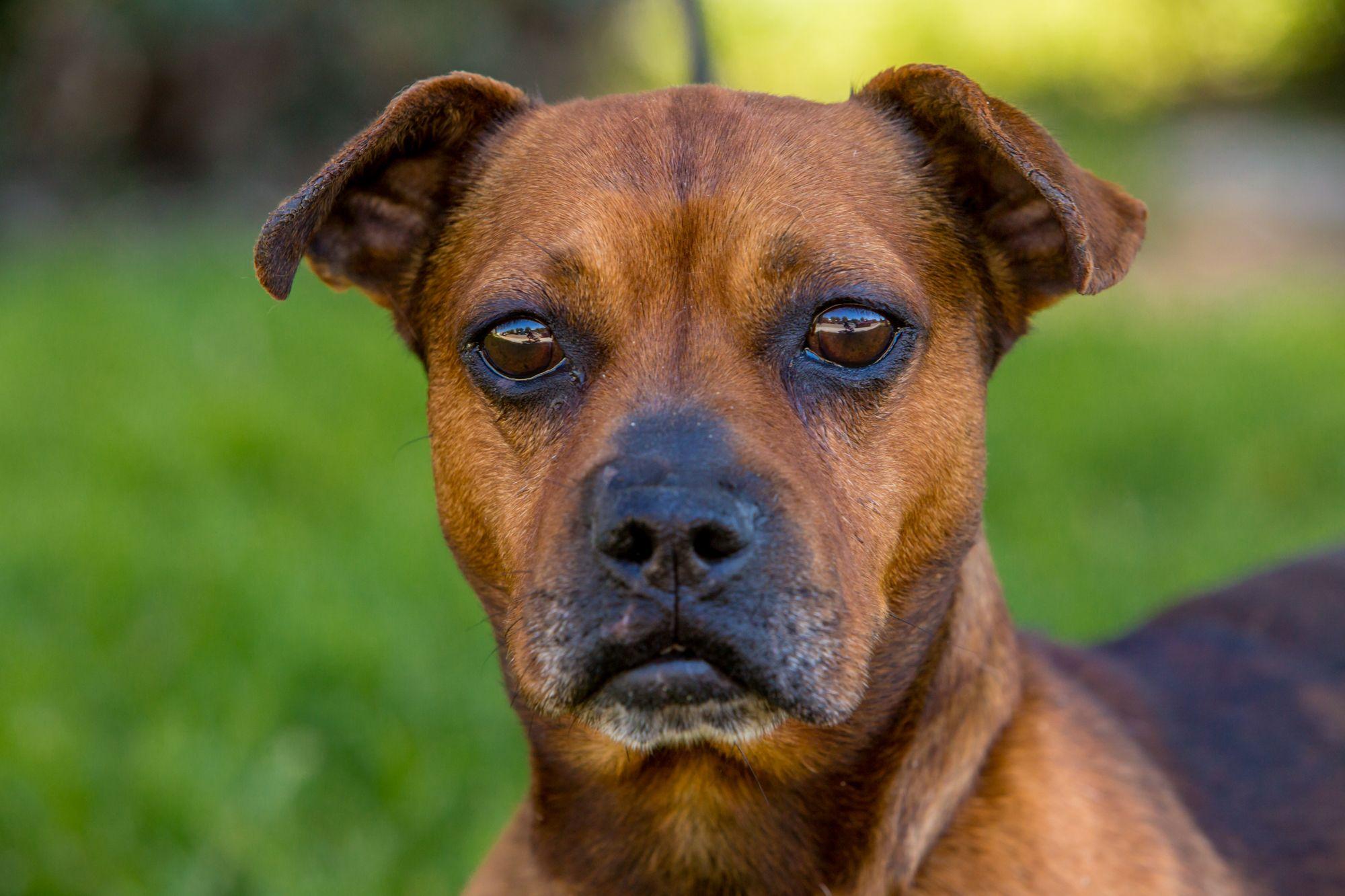 French Bull Weiner dog for Adoption in El Cajon, CA. ADN
