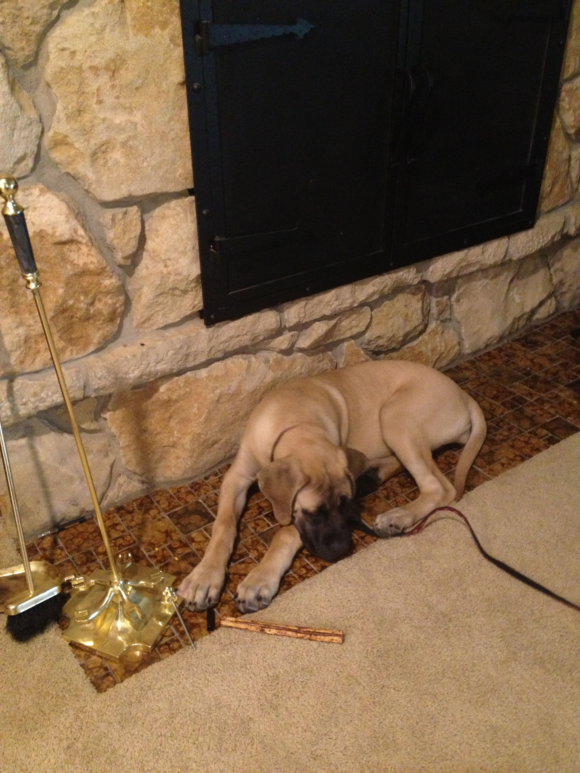 My four month old and weighs 50 pounds English mastiff sleeping