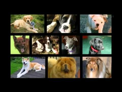 Pedigree Dogs Exposed Bbc Documentary N It S Appalling The