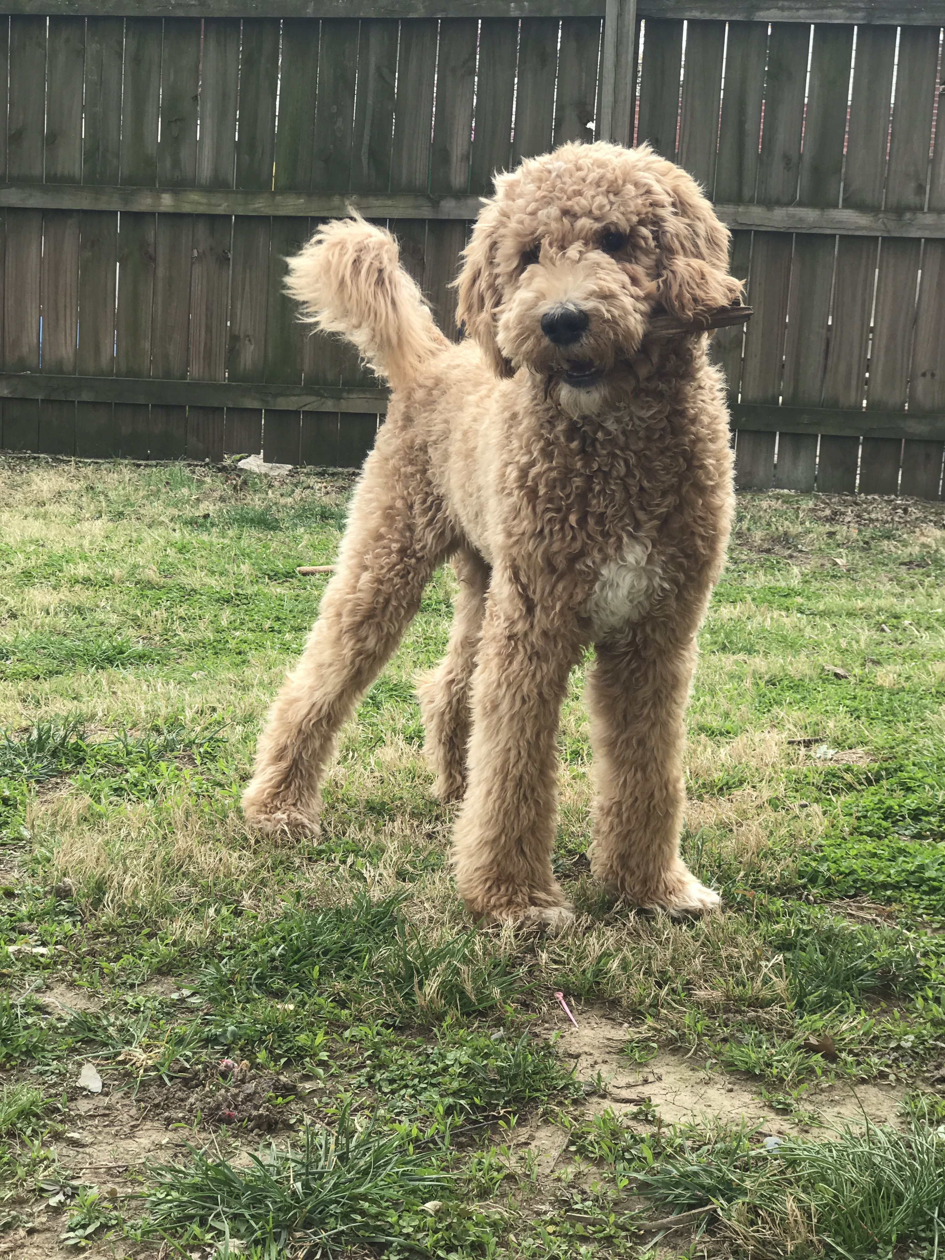 Golden doodle puppy (F1b)