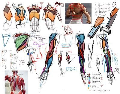 Character Design Collection: Arms Anatomy | Reference - Human ...