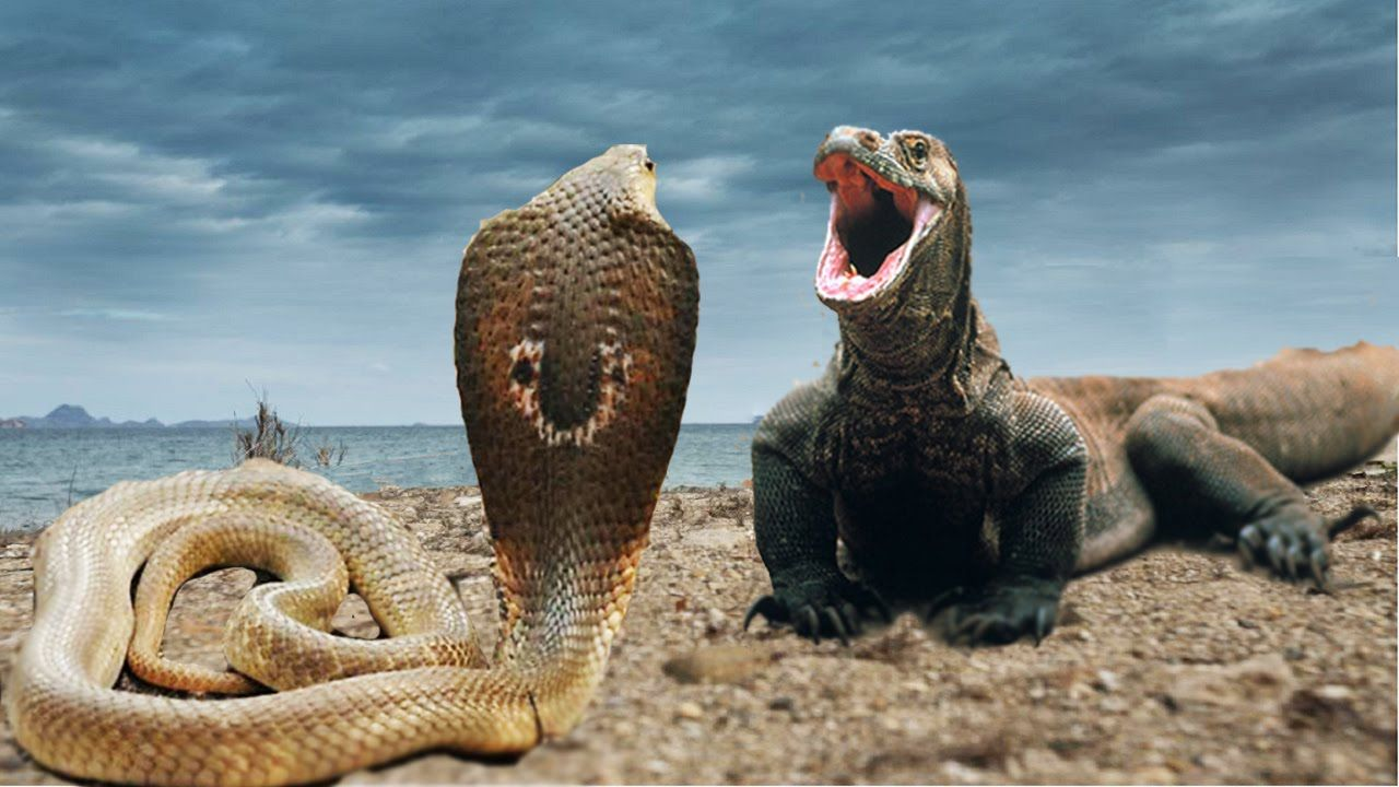 Komodo Dragon Vs Anaconda | www.pixshark.com - Images ...