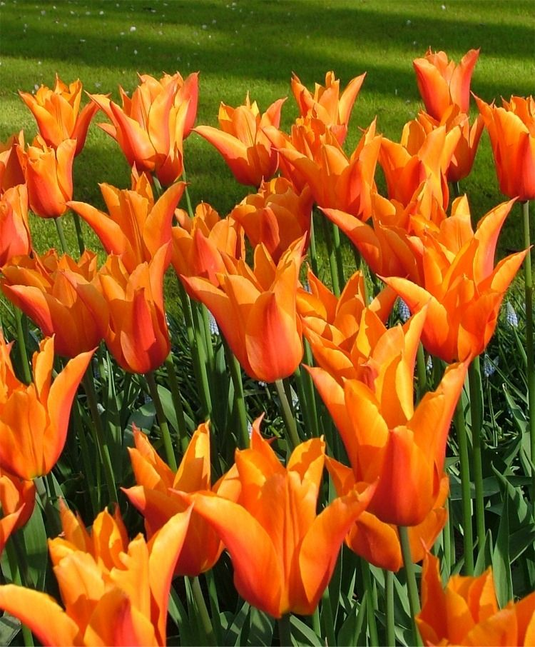 Tulip Ballerina - Lily Flowering - Tulips - Flower Bulbs Index