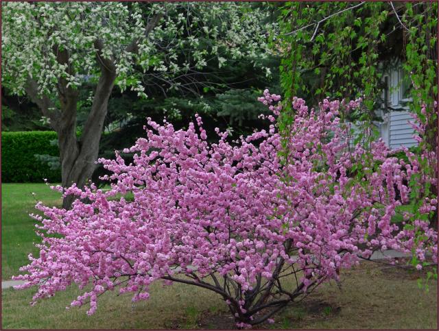 Prunus Triloba Multiplex Not Another Gardening Blog Prunus Gardening Blog Garden Design