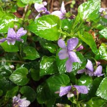 Belated blogging [Violets, chickweed and dandelions]