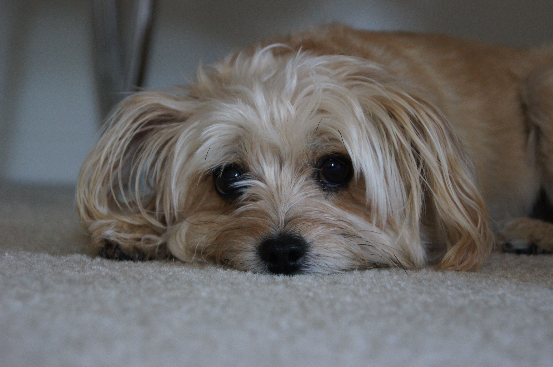 Chloe the Yorkie Poo!