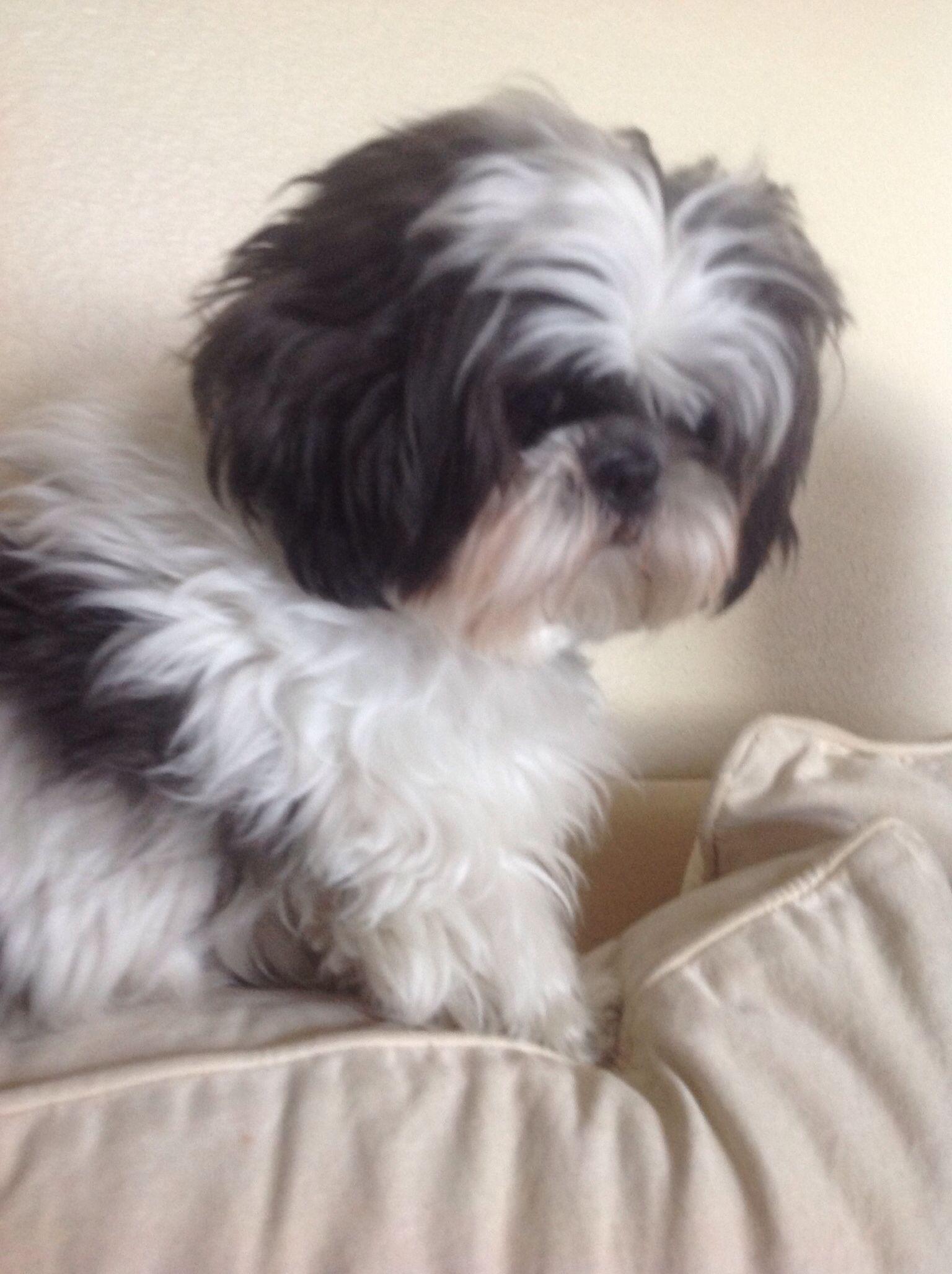 Oscar The Shih Tzu Shih Tzu Dogs Shih Tzu Dog