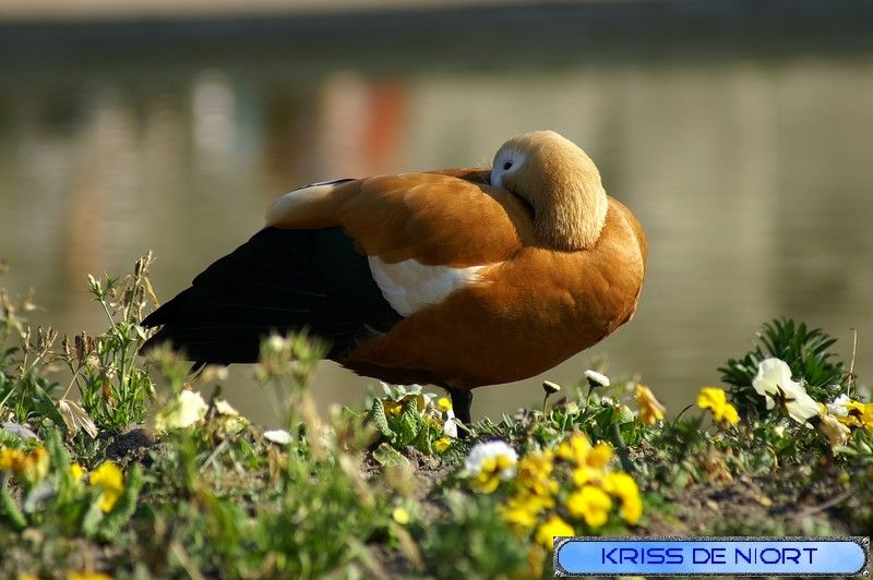Photo de canard : Tadorne casarca - Tadorna ferruginea - Ruddy Shelduck - Anas ferruginea