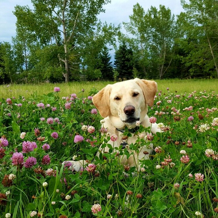 Pin by Marni on Things that make me smile Labrador