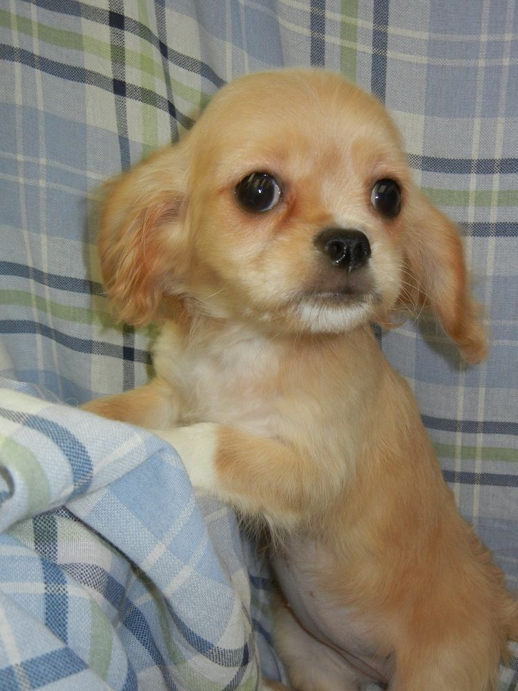 Cavalier King Charles/Bichon Frise  Fairwood Pet Center, from our home to yours, puppies & so much more!   425-271-9344  www.fairwoodpetcenter.com  Follow us on Facebook & Twitter, @FairwoodPets